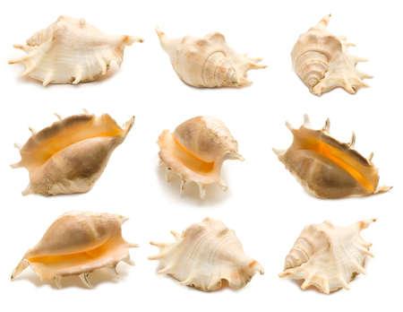 Set of nine giant spider conch shell angles (Lambis truncata) isolated on white background. Mollusk seashells Stockfoto