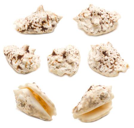Set of seven silver conch shell angles (Lentigo lentiginosus) isolated on white background. Mollusk seashells Stockfoto