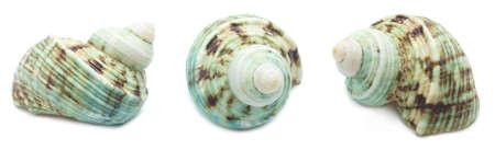 Set of three green seashells (Turbo marmoratus) isolated on white background. Mollusk seashells