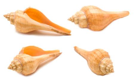 Set of four orange shell angles isolated on white background. Mollusk seashells Stockfoto