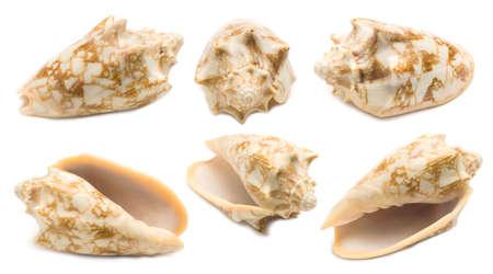 Set of six Cymbiola chrysostoma conch shell angles isolated on white background. Mollusk seashells
