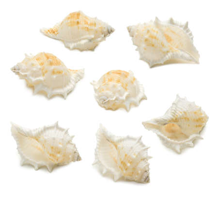 Set of seven conch shell angles isolated on white background. Mollusk seashells