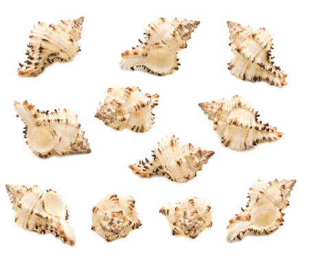 Set of eleven conch shell angles isolated on white background. Mollusk seashells