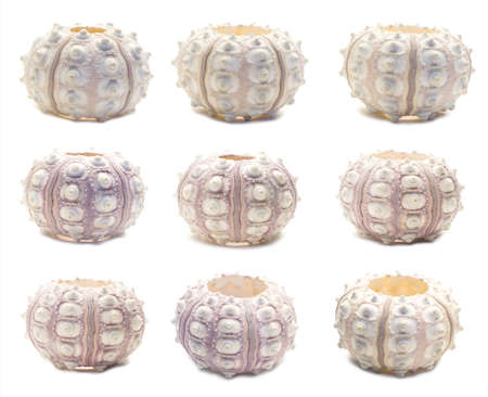 Set of nine sea urchin skeleton angles