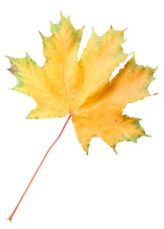 Green-orange maple leaf isolated on white background