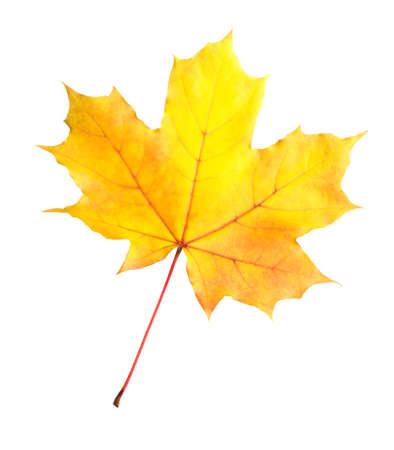 Pomarańczowo-żółty liść klonu na białym tle Zdjęcie Seryjne