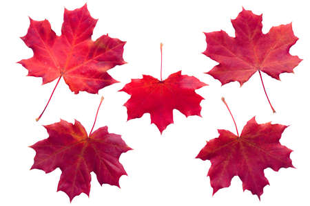 Five redmaple leaves isolated on white background Stockfoto