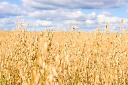 Field of ripened oats. Golden cereal ears. Harvest season
