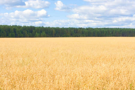 Field of ripened oats and forest. Golden cereal ears. Harvest season. Stockfoto