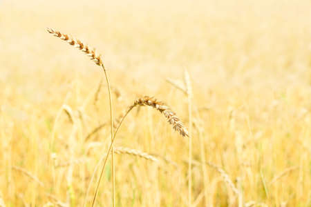 Ears of rye in a field with a cereal crop in autumn. Farmer harvest season