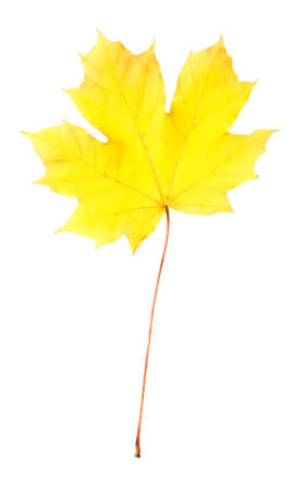 Bright yellow maple leaf isolated on white. Autumn season, leaf fall