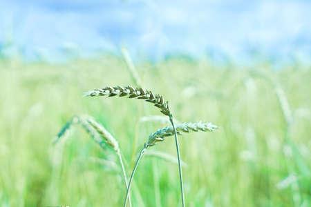 Green ears of rye in a field with a cereal crop. Farmer season