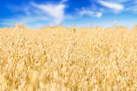 An ear of oat in a field with a cereal crop in autumn. Farmer harvest season. Natural landscape with cloudy blue sky Stockfoto