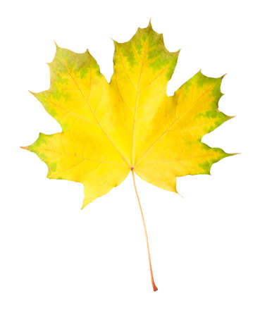 Green-yellow maple leaf isolated on white background