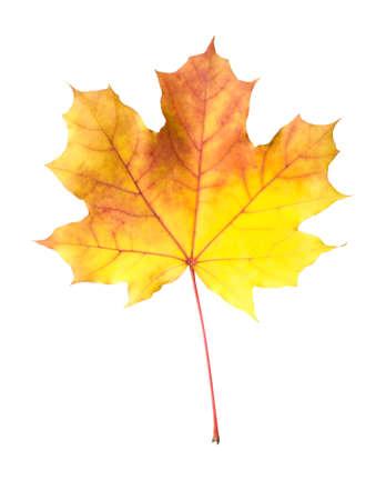 Orange-yellow maple leaf isolated on white background