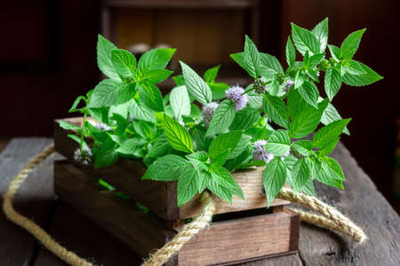 Freshly picked wild (corn, field) mint in a wooden box. Fragrant harvest. Mentha arvensis