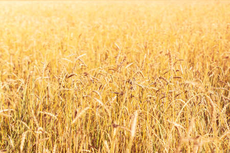 A field of golden ripe rye. Harvesting season. Natural agricultural background
