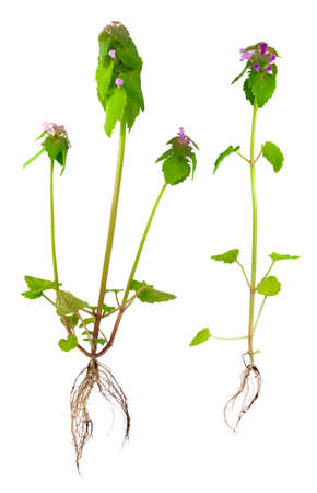 Two bushes of Lamium purpureum with roots, leaves and flowers isolated on white. Stok Fotoğraf