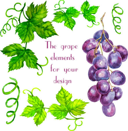 ine: Watercolor hand-drawn vector set of grape