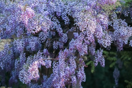 Lilac flowers in spring garden in bloom. Banque d'images