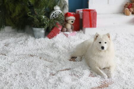 A purebred Samoyed dog lies on the floor with artificial snow. Stok Fotoğraf