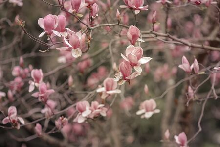 Branches with blossoming colors of pink magnolia. Фото со стока
