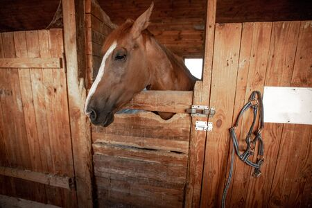 Breeding horse for equestrian sport. Horse head close up in a rural stable