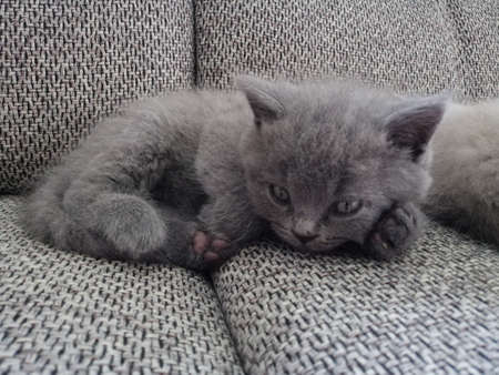 beautiful gray kitten lies on the sofa and looks at the camera. Stok Fotoğraf