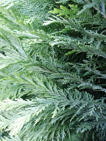 Evergreen thuja tree branches background. Macro photo.