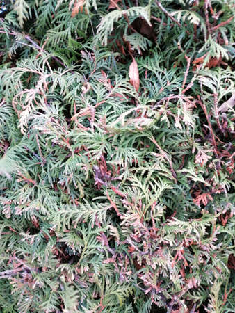 Close up pine leaves. Pattern of dried thuja branches. Stok Fotoğraf