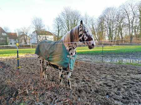 Beautiful dapple horse with long mane portrait
