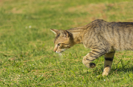 prowl: Beautiful cat on the prowl. Stock Photo