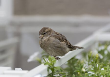 white perch: Sparrow with gray, white ,brown and beige feathers sitting on the fence next to the flowers Stock Photo