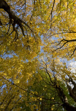 climatic: Crowns and trunks of trees, yellow, green, orange autumn leaves, and above them a blue sky, Sunny day, the average climate zone, temperate climate, Russia