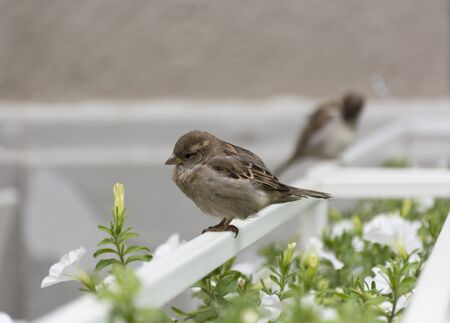 white perch: 2 Sparrow, one closer, the other farther, sitting on a white perch near flowers and greenery, autumn Stock Photo
