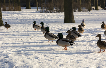 to get warm: ducks lined up a wedge of snow in the Park, feathers, birds, winter, sun