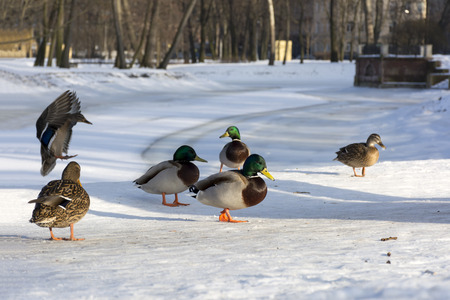 ducks in the Park on the shore of the frozen river, one of them lands, the movement of the sun