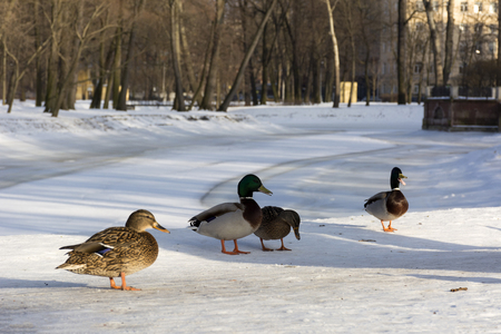 four ducks on a river in the Park, snow, winter, North Stock Photo
