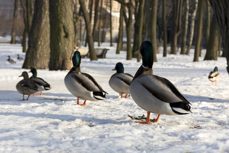 ducks, birds stand in the snow in the Park and look in one direction, winter, Park