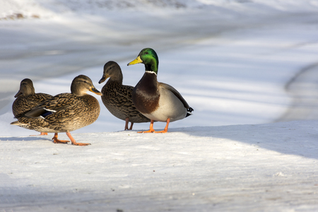 ducks standing on the shore of the lake, snow, winter, three females, one male, the harem, the Park