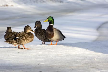 pessoas: Patos em pé na margem do lago, neve, inverno, três fêmeas, um macho, o harém, o Parque