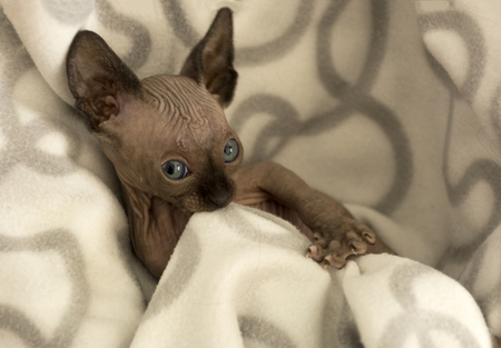 grey cat: kitten, a female canadian Sphynx, hairless cat chews blanket
