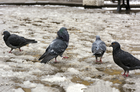group of pigeons on the melting snow, puddles, 4 dove