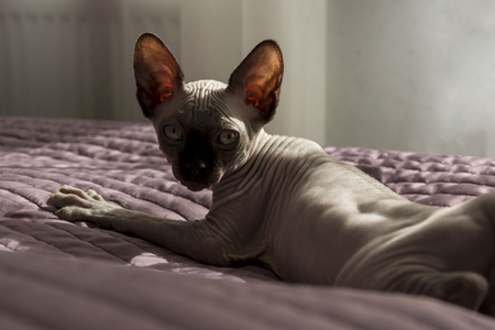 kitten of the canadian Sphinx is lying on the bed spread, pet, cat