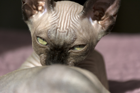kitten breed Sphynx, cat muzzle, eyes narrowed