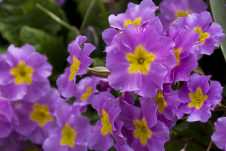 many spring flowers with a yellow core, primrose petals Stock Photo