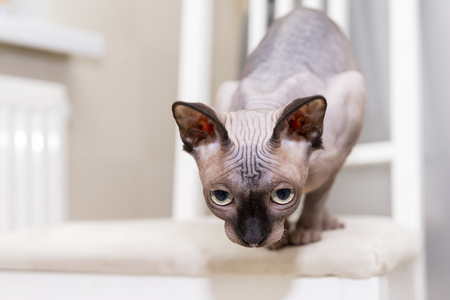 bald hairless cat, the cat of breed the Canadian Sphynx sits on a chair looking down, preparing to jump