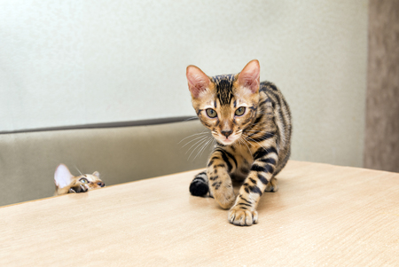 Bengal cat kitten climbed on the table, the second kitten looks out from under the table, Pets