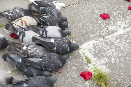 a flock of pigeons pecking rice grains from the pavement, birds eat, a lot of pigeons, doves