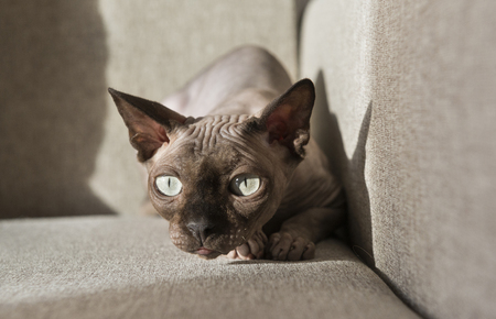 cat muzzle, the cat of breed the canadian Sphynx is lying on the sofa in the pose of hunting, bald cat, pet